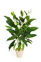 SPATHIPHYLLUM GIANT - Länge: 99cm, Blätter: 60, Blüten: 10