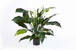 SPATHIPHYLLUM DE LUXE W/P - Länge: 73 cm, Blätter: 29, Blüten: 5