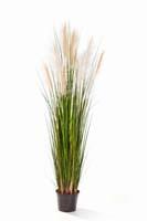 REED GRASS W/CREAM-BROWN FL , Blätter : 559, Blüten : 10