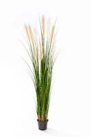 REED GRASS W/CREAM-BROWN FL, Blätter : 609, Blüten : 11