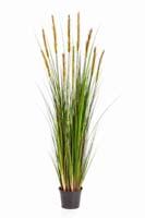 FOXTAIL GRASS W/GREEN FL , Blätter : 664, Blüten : 10