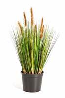 FOXTAIL GRASS W/BROWN FL, Blätter: 791, Blüten: 6