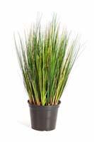 FOXTAIL GRASS - Länge: 60cm, Blätter: 791