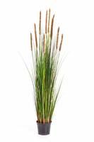 FOXTAIL GRASS W/BROWN FL, Blätter : 664, Blüten : 10