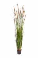FOXTAIL GRASS W/BROWN FL , Blätter : 619, Blüten : 13