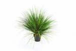 ONION GRASS X 2468-65CM, Blätter: 2468