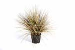 AUTUMN ONION GRASS X 2468-65CM, Blätter: 2468