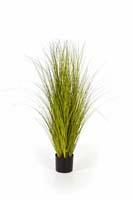 MISCANTHUS GOLD GRASS - Länge : 105cm, Blätter : 886