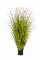 MISCANTHUS GOLD GRASS - Länge : 125cm, Blätter : 1392