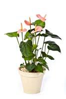 ANTHURIUM DE LUXE PINK - Länge: 56 cm, Blätter: 23, Blüten: 4