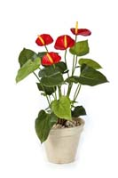 ANTHURIUM DE LUXE - Länge: 56cm, Blätter: 23, Blüten: 4