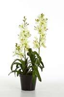 VANDA ORCHID PLANT W/POT - Länge : 64cm,