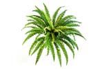FOREST FERN X 57 - Blätter: 57