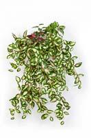 MINI HOYA BUSH X 560 - Blätter: 560