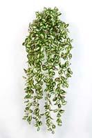 HOYA HANGING BUSH - Länge: 85cm, Blätter: 706
