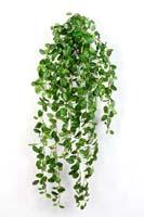 FITTONIA HANGING BUSH - Länge: 85cm, Blätter: 706