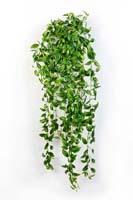 TRADESCANTIA HANGING BUSH - Länge: 85cm, Blätter: 706
