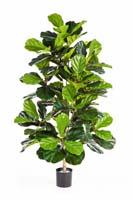 FICUS LYRATA BUSH TREE - Länge: 130cm, Blätter: 108