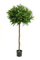 CROTON GOLDFINGER BALL TREE - Länge: 145cm, Blätter: 1008
