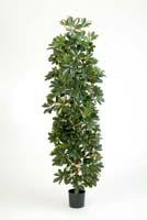COLUMN SCHEFFLERA - Länge: 180cm, Blätter: 1739