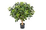 PITTISPORUM BALL TREE 50 CM - Länge: 60cm, Blätter: 1137