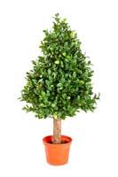 BUXUS PYRAMIDE TREE - Länge: 50cm, Blätter: 2432