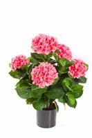 HYDRANGEA BUSH DE LUXE W/POT - Länge: 53 cm, Blätter: 134, Blüten: 228