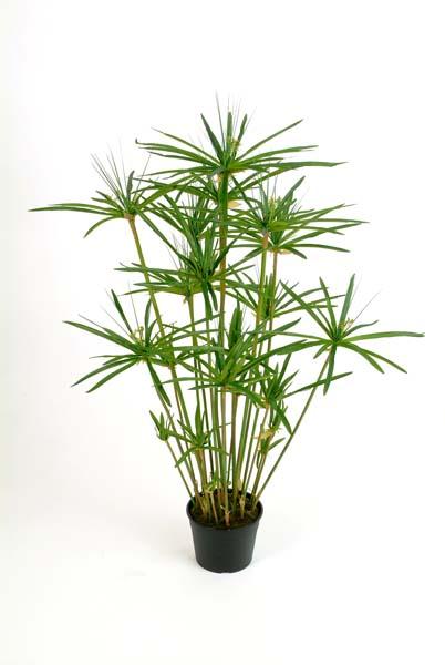 papyrus pflanze 29 l nge 150cm bl tter 29. Black Bedroom Furniture Sets. Home Design Ideas