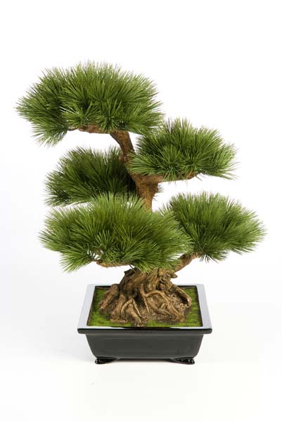 pinus bonsai baum 60 cm l nge 60cm bl tter 124. Black Bedroom Furniture Sets. Home Design Ideas